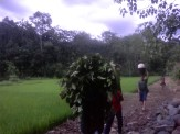 Maangkuik daun gambi jak ladang