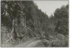 Sebuah jalan melintas hutan alam Koto Baru pada 1903 (Sumber foto: KITLV Leiden)