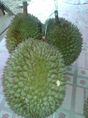 Durian Koto Alam